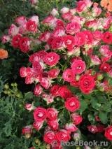 Розы ТОПАЛОВИЧ ВЕСНА 2020 - Страница 15 8044610