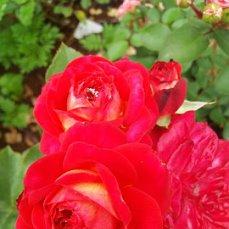Розы ТОПАЛОВИЧ ВЕСНА 2020 - Страница 15 I10