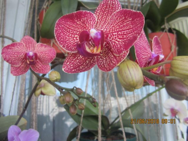 Орхидеи - Страница 16 Img_2241