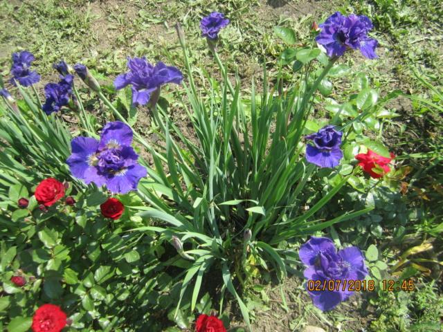 Ирисы в наших садах - Страница 39 Img_2511