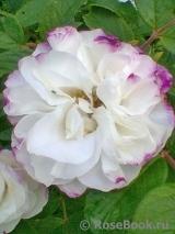 Канадские розы на весну 2020 года - Страница 3 Louise10