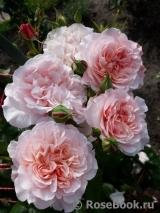 Розы ТОПАЛОВИЧ ВЕСНА 2020 - Страница 25 Rose_d10