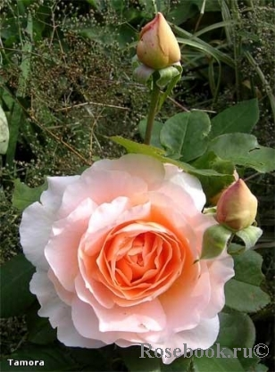 Розы ТОПАЛОВИЧ ВЕСНА 2020 - Страница 25 Tamora10