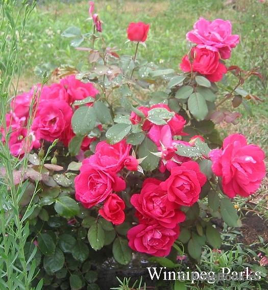 Канадские розы на весну 2020 года - Страница 3 Winnip10
