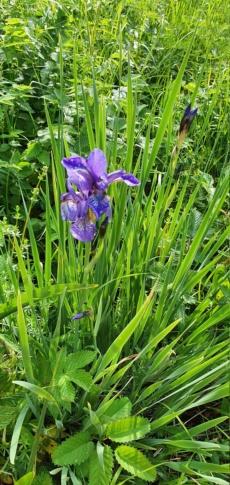 Schwertliliengewächse: Iris, Tigrida, Ixia, Sparaxis, Crocus, Freesia, Montbretie u.v.m. - Seite 29 20200394