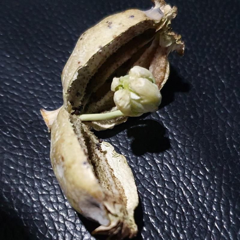 Mohn - Mohngewächse - Papaveraceae - Seite 7 20201052