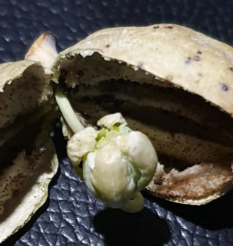 Mohn - Mohngewächse - Papaveraceae - Seite 7 20201053