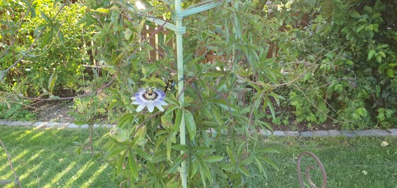 """Passiflora - Passionsblume - kleine """"Juwelen"""" - alles über Aussaat, Pflege, Vermehrung und natürlich Blütenbilder :) - Seite 33 20201165"""