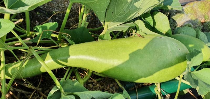 Kürbisgewächse - Cucurbitaceae: Melonen, Gurken, Kürbisse und Zucchini - alle Verteter der nichtsukkulenten Arten - Seite 19 20201489