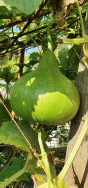 Kürbisgewächse - Cucurbitaceae: Melonen, Gurken, Kürbisse und Zucchini - alle Verteter der nichtsukkulenten Arten - Seite 19 20201490