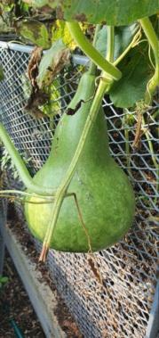 Kürbisgewächse - Cucurbitaceae: Melonen, Gurken, Kürbisse und Zucchini - alle Verteter der nichtsukkulenten Arten - Seite 19 20201491
