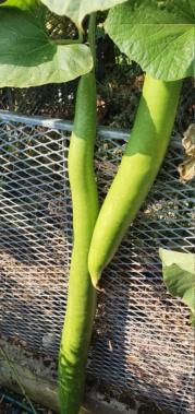 Kürbisgewächse - Cucurbitaceae: Melonen, Gurken, Kürbisse und Zucchini - alle Verteter der nichtsukkulenten Arten - Seite 19 20201492