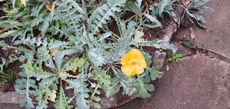 Mohn - Mohngewächse - Papaveraceae - Seite 8 20201644