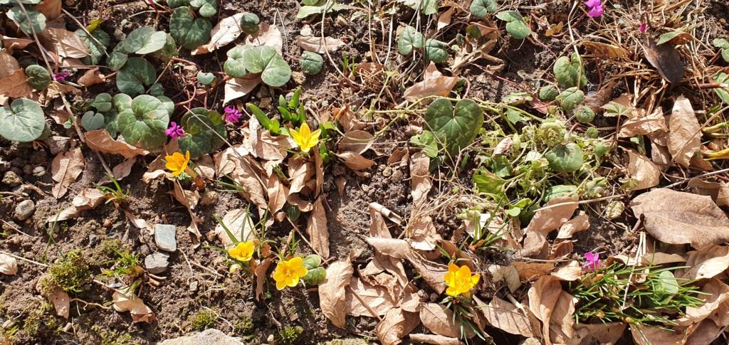 Erste Frühlingsboten im Garten und in Wald und Flur, Teil 2 - Seite 3 20210244
