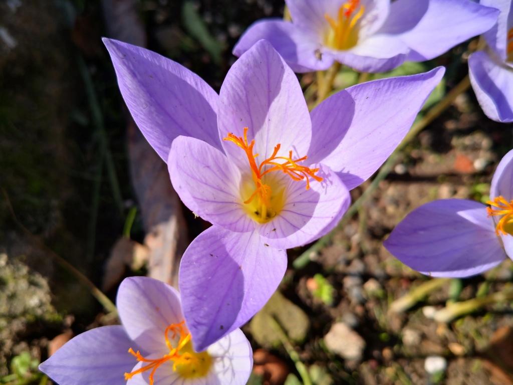Schwertliliengewächse: Iris, Tigrida, Ixia, Sparaxis, Crocus, Freesia, Montbretie u.v.m. - Seite 29 Img_1282