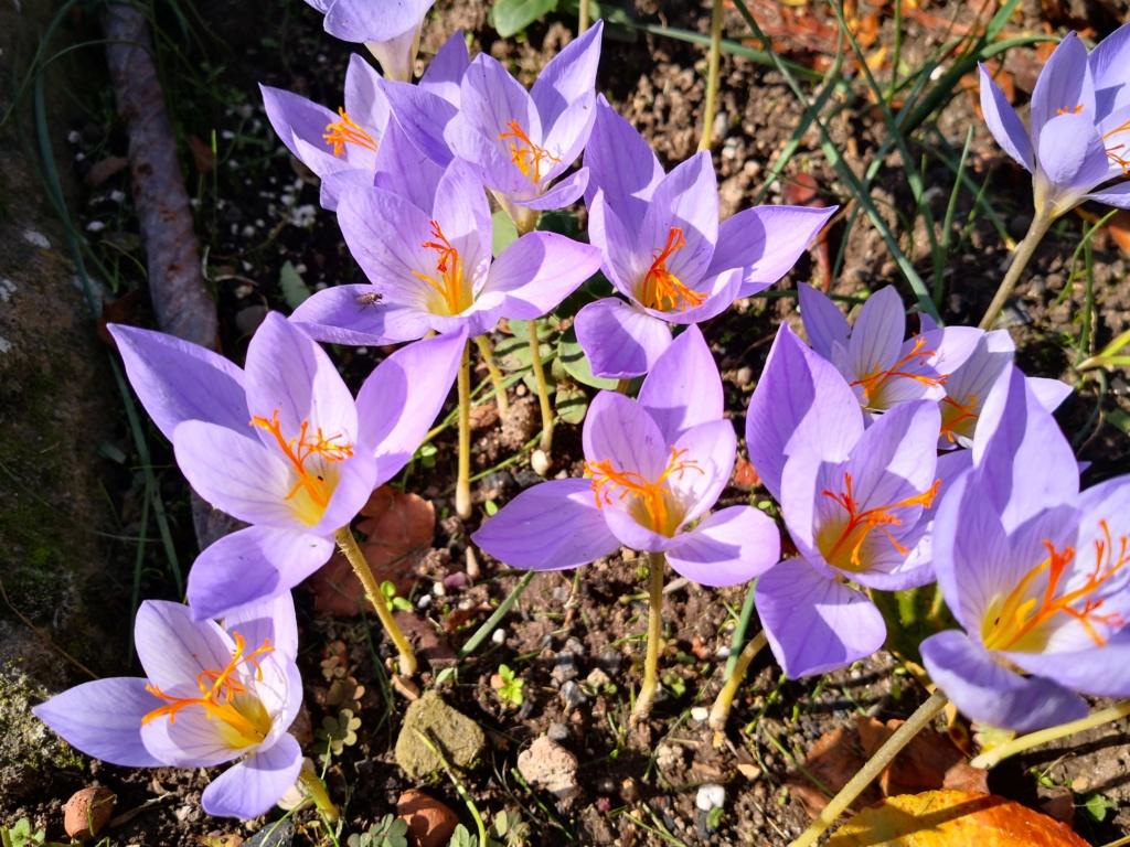 Schwertliliengewächse: Iris, Tigrida, Ixia, Sparaxis, Crocus, Freesia, Montbretie u.v.m. - Seite 29 Img_1283