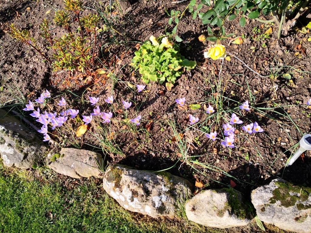Schwertliliengewächse: Iris, Tigrida, Ixia, Sparaxis, Crocus, Freesia, Montbretie u.v.m. - Seite 29 Img_1285