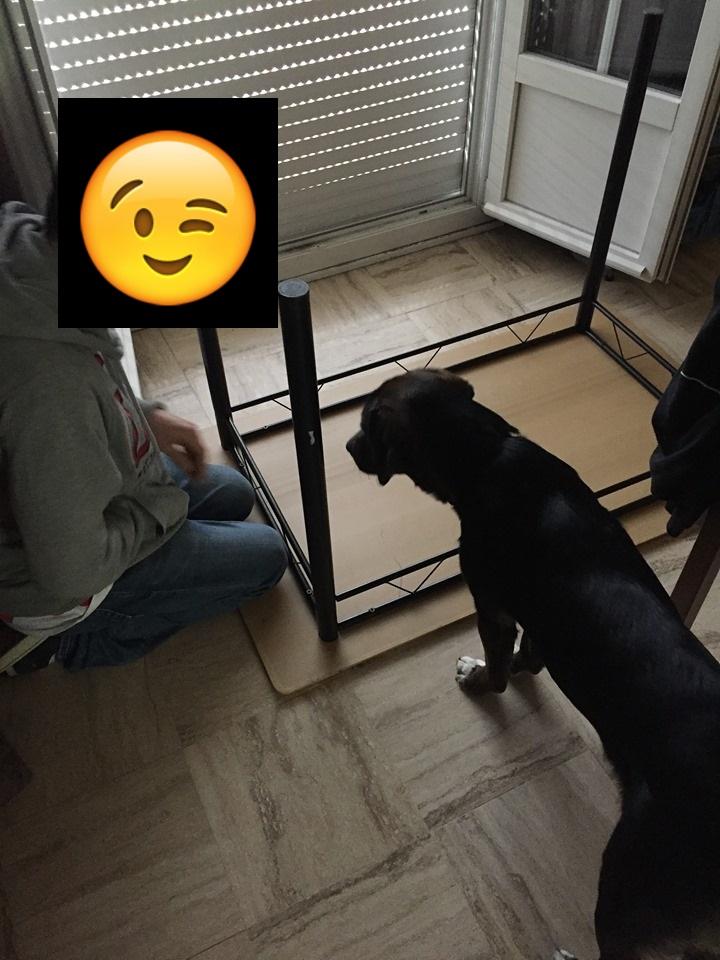 Olaf  - mâle x beagle (01/05/2018) 68387910