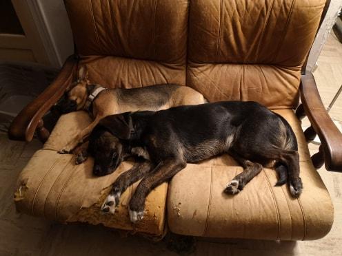 Olaf  - mâle x beagle (01/05/2018) 69552510