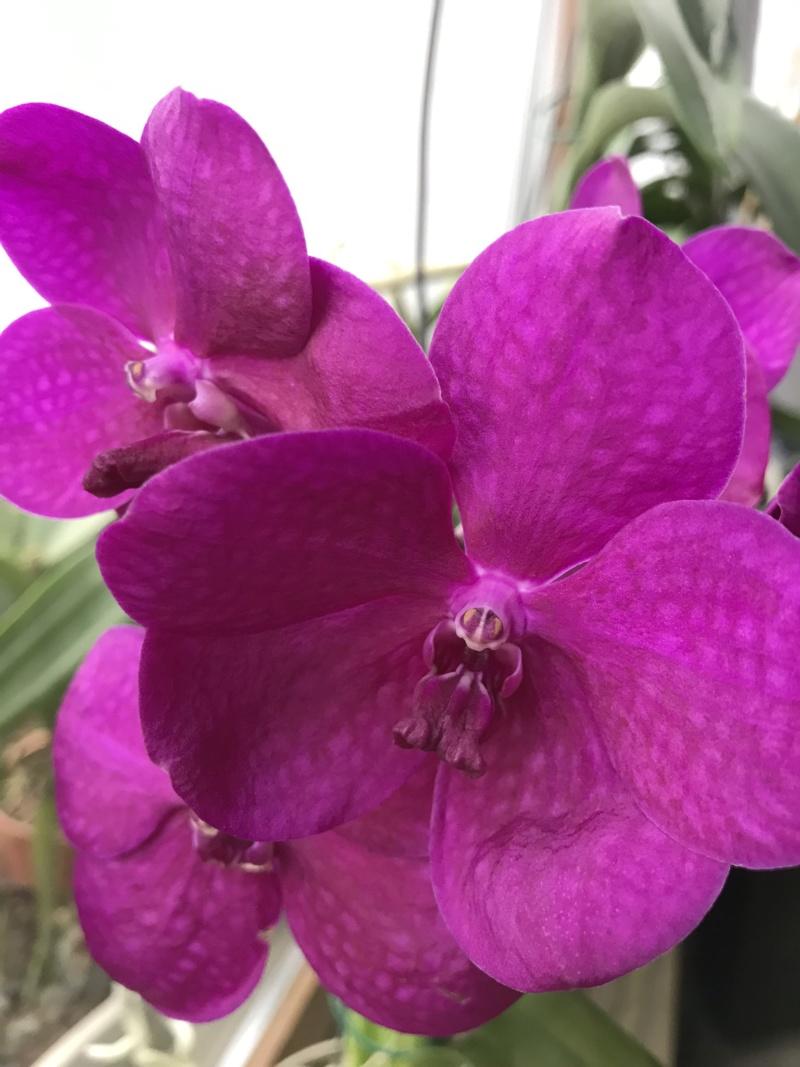 Orchideen-Neuzugang 2 - Seite 18 Ascoce11