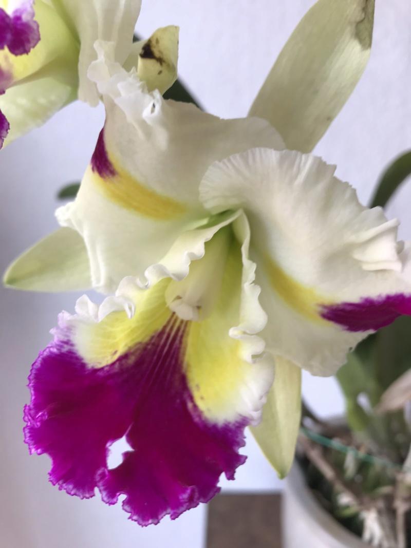 Orchideen-Neuzugang 2 - Seite 14 Rlcpat10