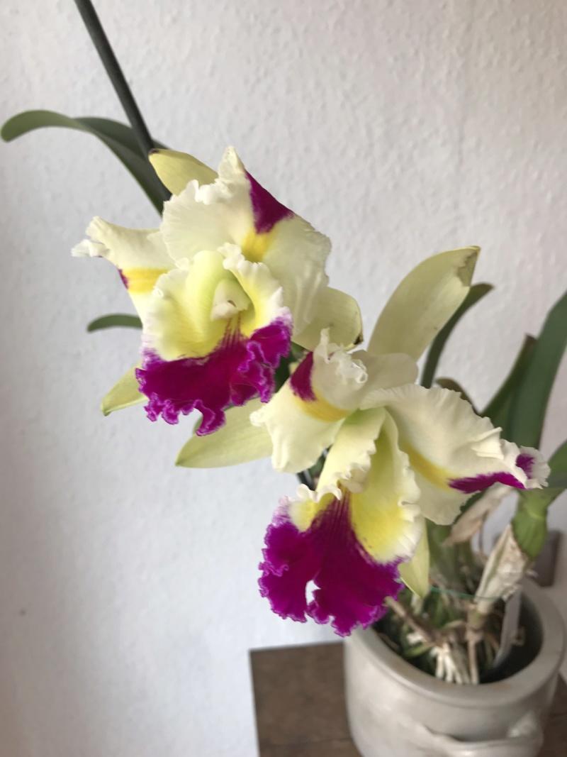 Orchideen-Neuzugang 2 - Seite 14 Rlcpat11