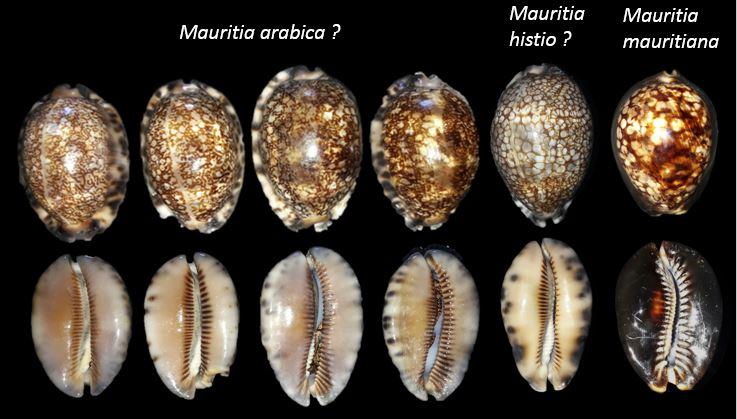 Mauritia 2211