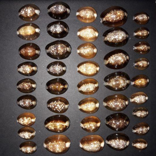 Monetaria caputserpentis caputserpentis - (Linnaeus, 1758) - Page 3 54520210