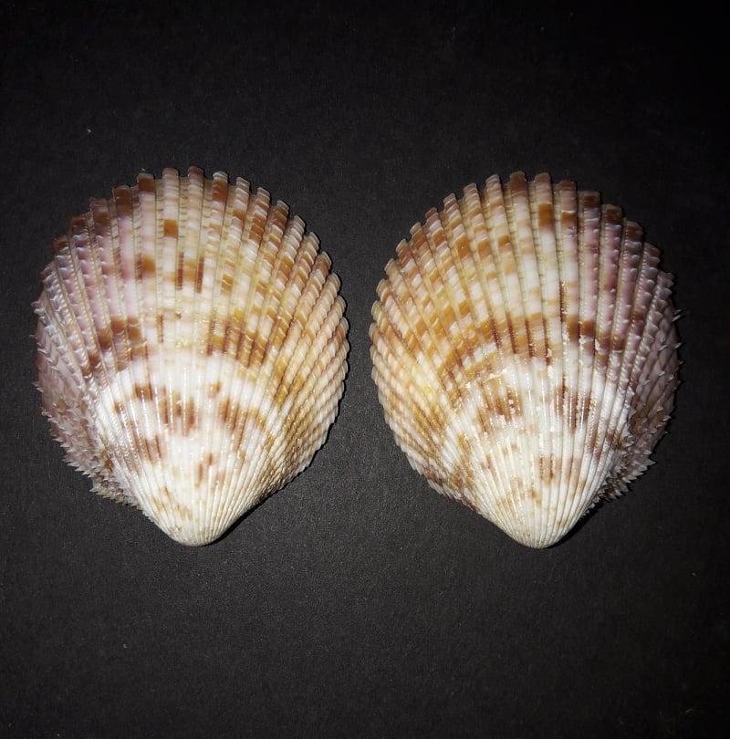 Vasticardium assimile (Reeve, 1844) 91377610