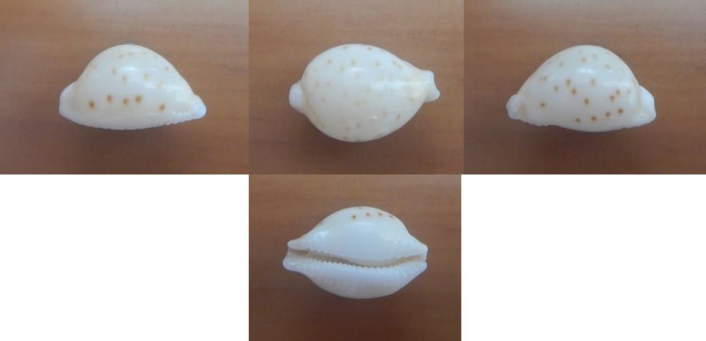 Pustularia globulus brevirostris var. grisgris  - Lorenz, 2014 Brev210