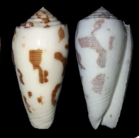 Conus (Pionoconus) striatus (Linnaeus, 1758)  Cone_110