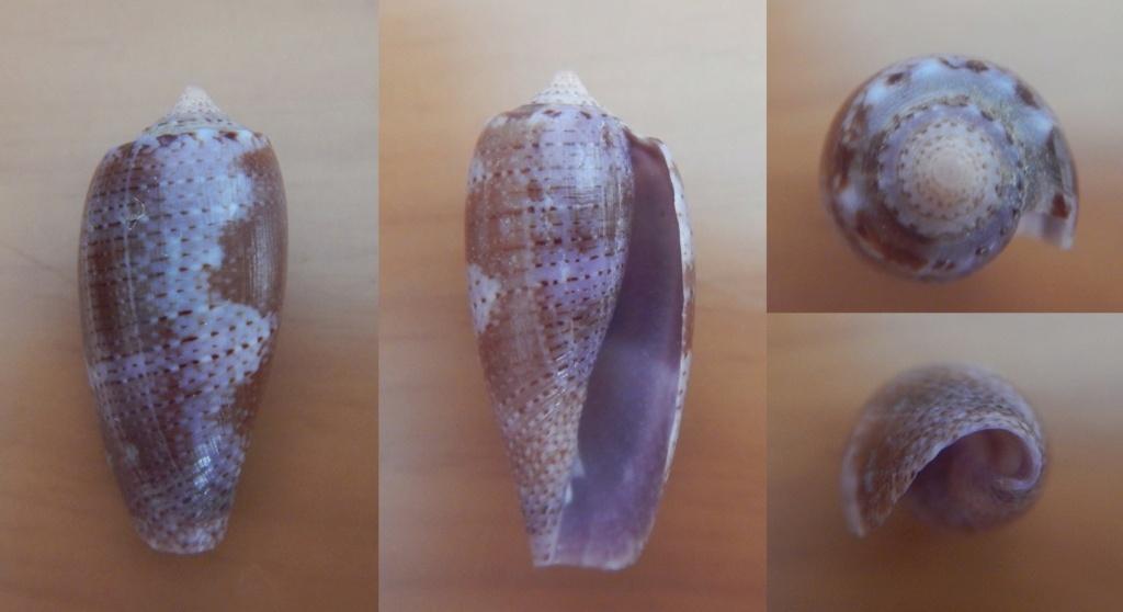 Conus_tulipa (Linnaeus, 1758) - jeune Conus10