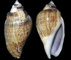 Gibberulus gibberulus (Linnaeus, 1758) Gibber10