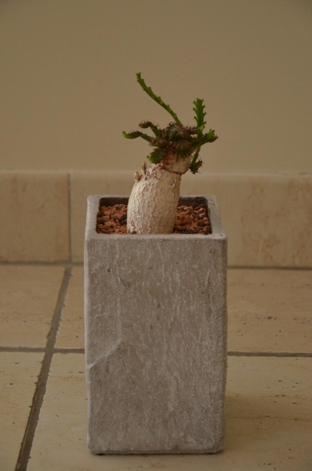 Euphorbia stellata - Page 7 Euphor10
