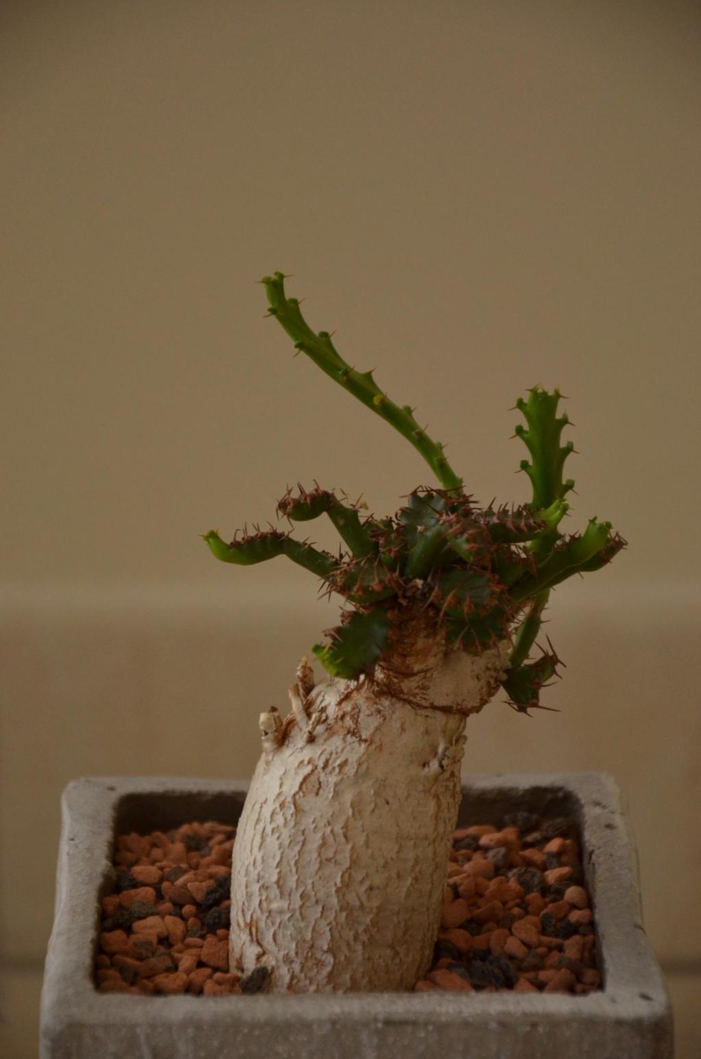 Euphorbia stellata - Page 7 Euphor11