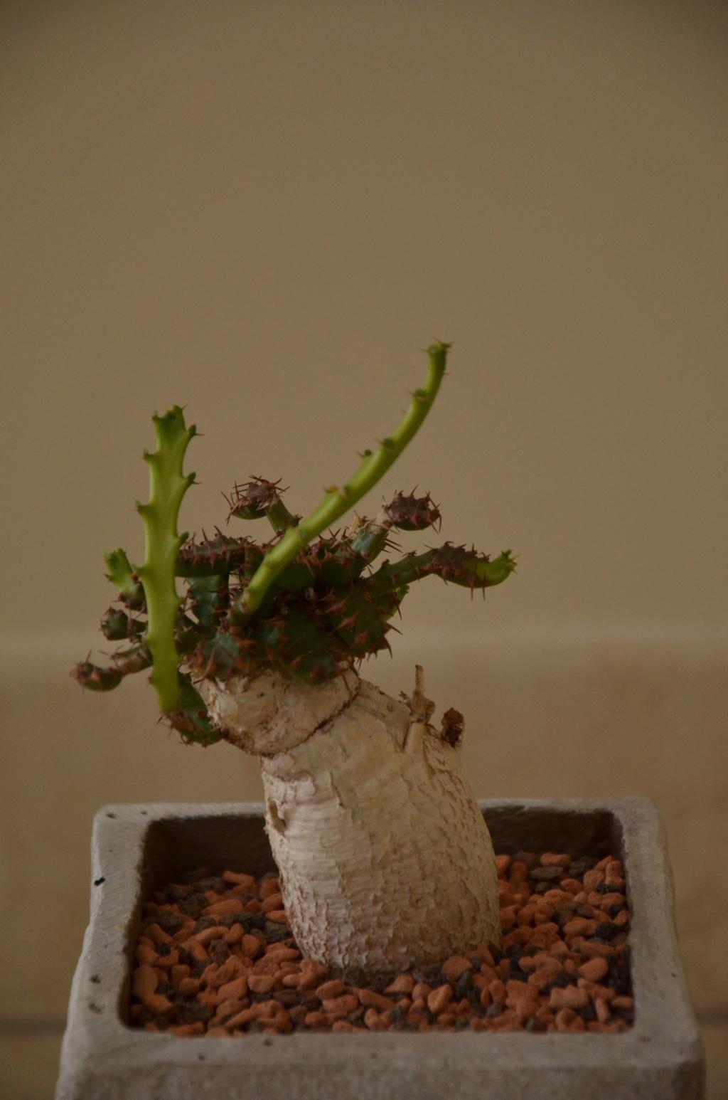 Euphorbia stellata - Page 7 Euphor12
