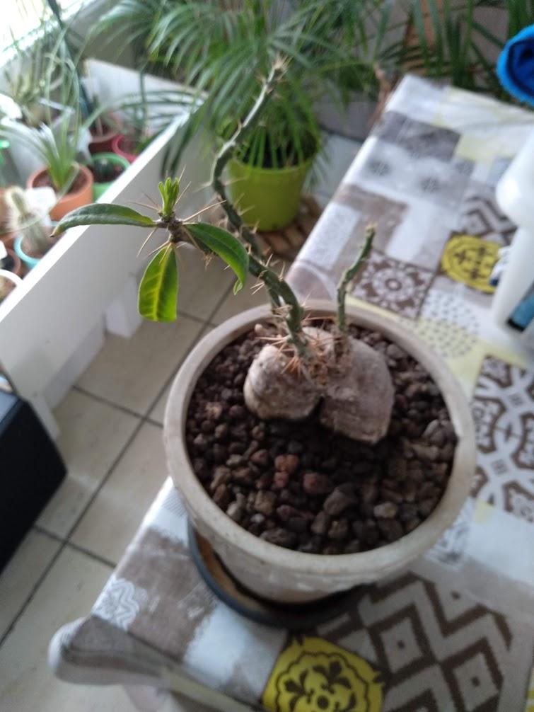 Pachypodium succulentum  - Page 13 Img_2014