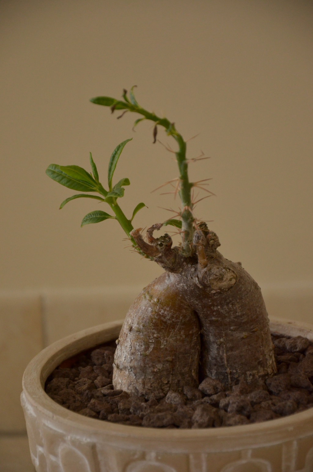 Pachypodium succulentum  - Page 11 Pachyp13