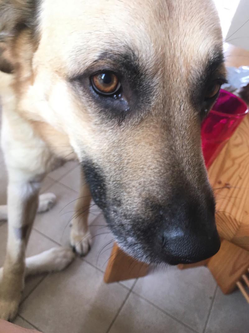 Django - mâle labrador x berger (01/01/2016) 15661613