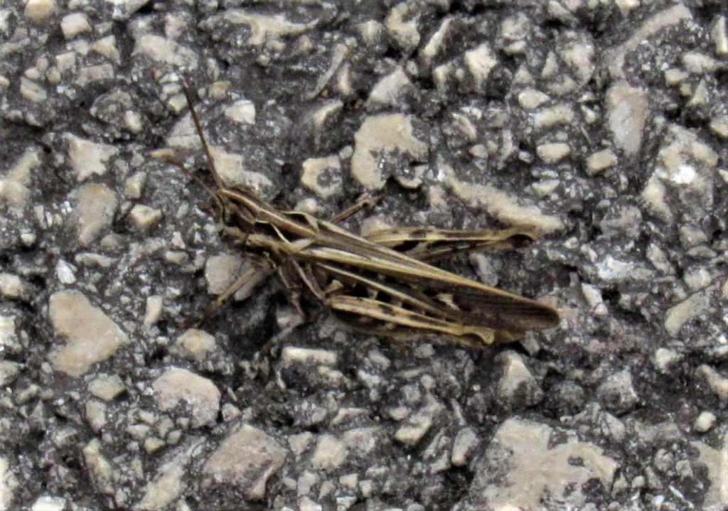 [Chorthippus sp. (brunneus/biguttulus/mollis)] Criquet mais lequel ? Chorth10