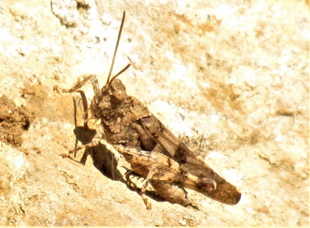 [Oedipoda caerulescens] Encore un criquet inconnu (pour moi !) Img_5311