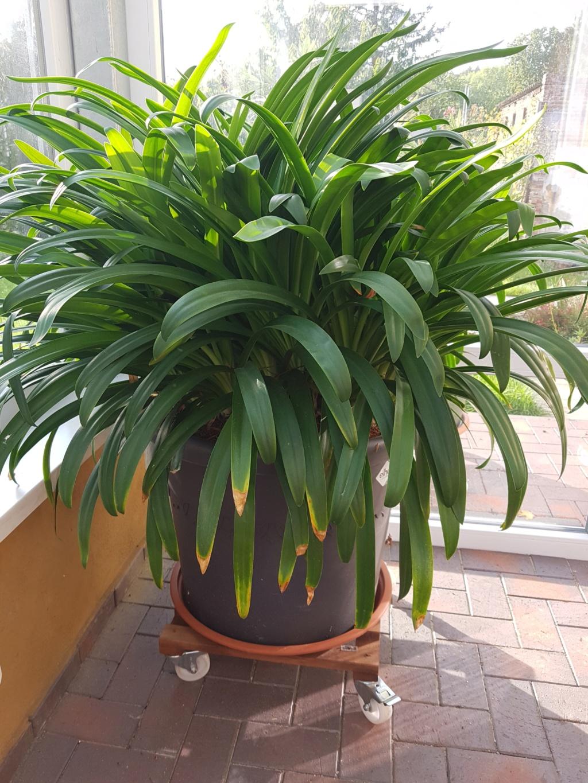 Amaryllisgewächse - Amaryllidaceae (Hippeastren, Nerine, Amaryllis, Agapanthus und auch Allium & Narzissen) - Seite 61 20191012