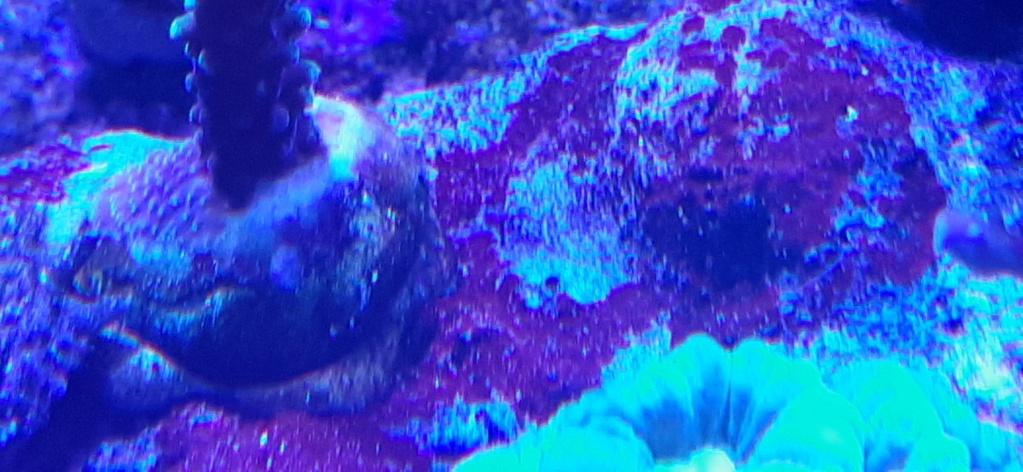 Nécrose par les bas des coraux dur 20210112
