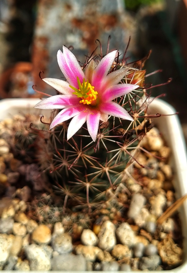 Thornberi? Grahamii ssp. sheldonii? Mazatlanensis? Img_2020