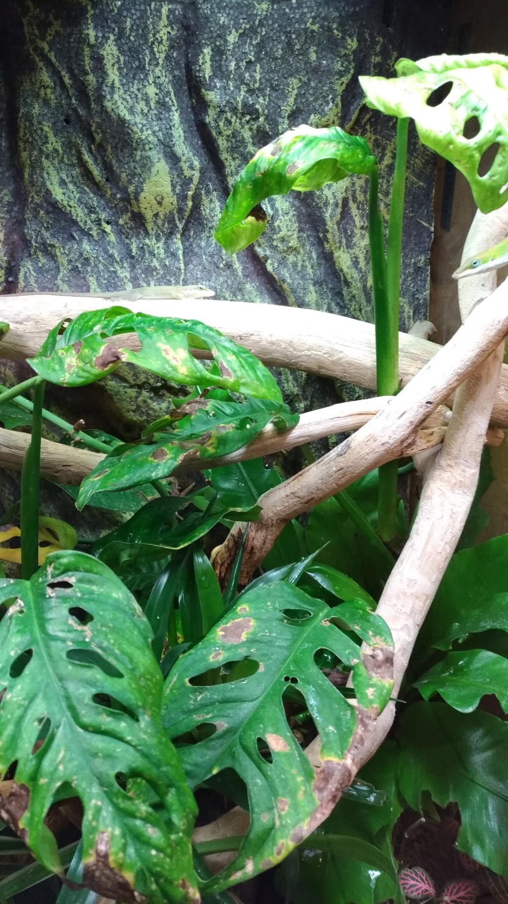 Terra tropical: plantes malades ou grignotées P_202023