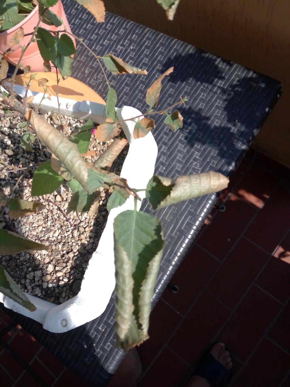 Carpino nero - Problema foglie Img_2010
