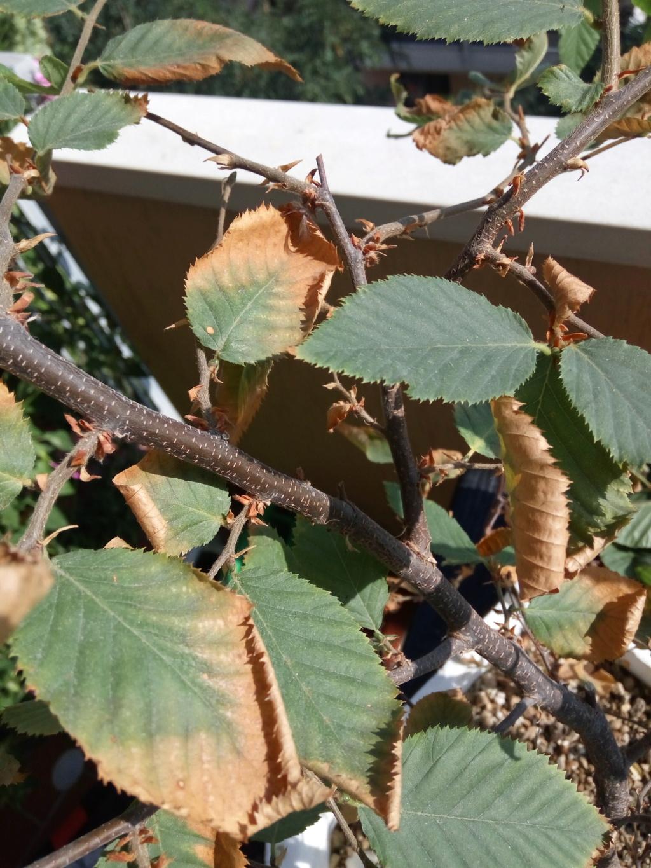 Carpino nero - Problema foglie Img_2011