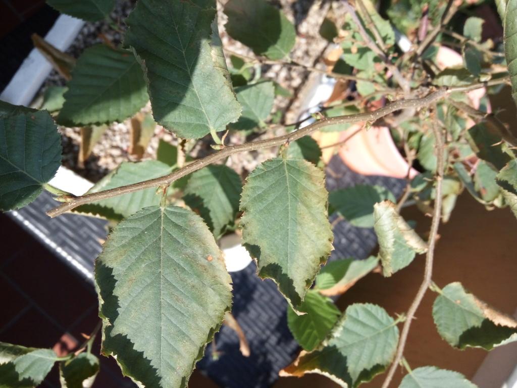 Carpino nero - Problema foglie Img_2013