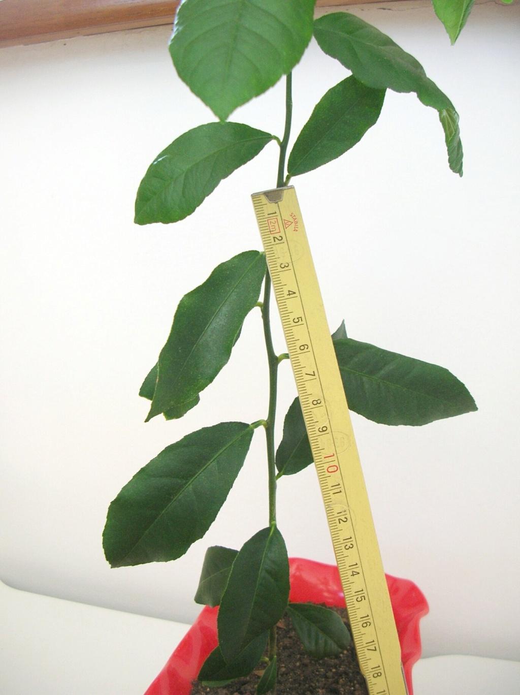 Bonsai di agrumi... è possibile? Dscn8911