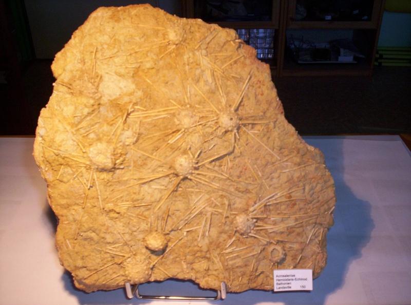 oursins du Bathonien Fossil12